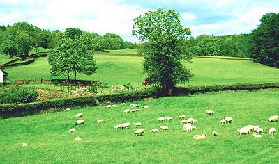 イギリスの羊たち